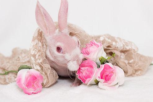 Mr Bigglesworth the rabbit, bald rabbit, hairless rabbit, mr bigglesworth, mr bigglesworth the bunny