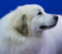 beautiful head study of a Great Pyrenees