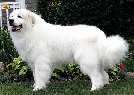 Adult Male Great Pyrenees