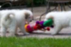 Great Pyrenees 8 wk old puppies
