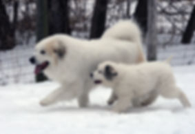 Adult Great Pyrenees with puppy in snow