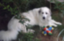 female Great Pyrenees laying down
