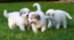 adorable 8 week old Great Pyrenees puppies