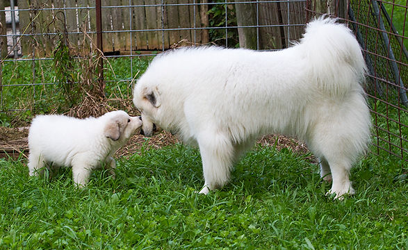 Female adult Great Pyrenees with puppy