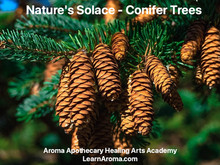 Nature's Solace- Conifer Trees