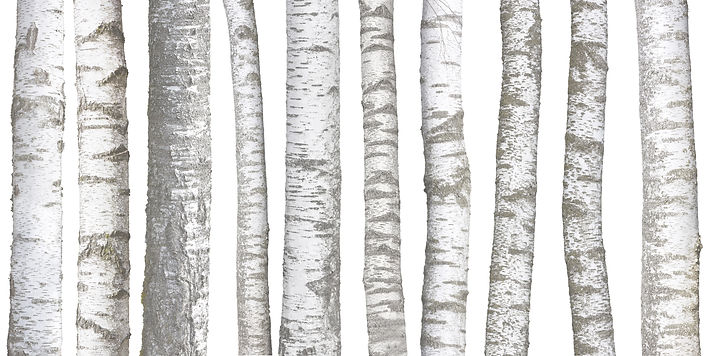 Birch%20tree%20trunks%20isolated%20on%20
