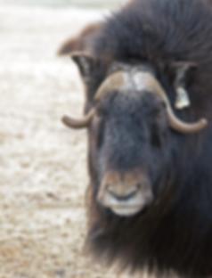 musk-ox-big.png