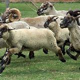 Hog Island flock (2).jpg