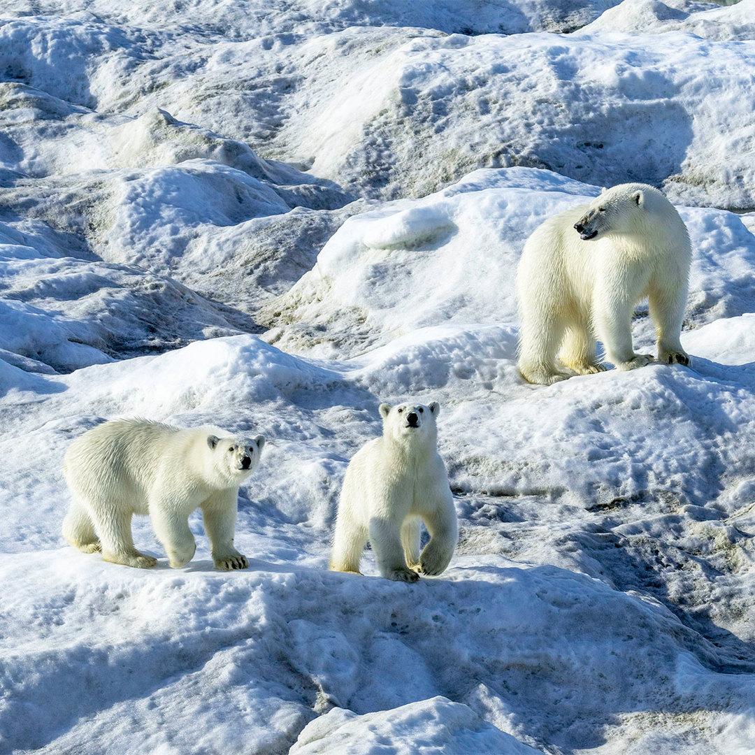 polarcubs.jpg