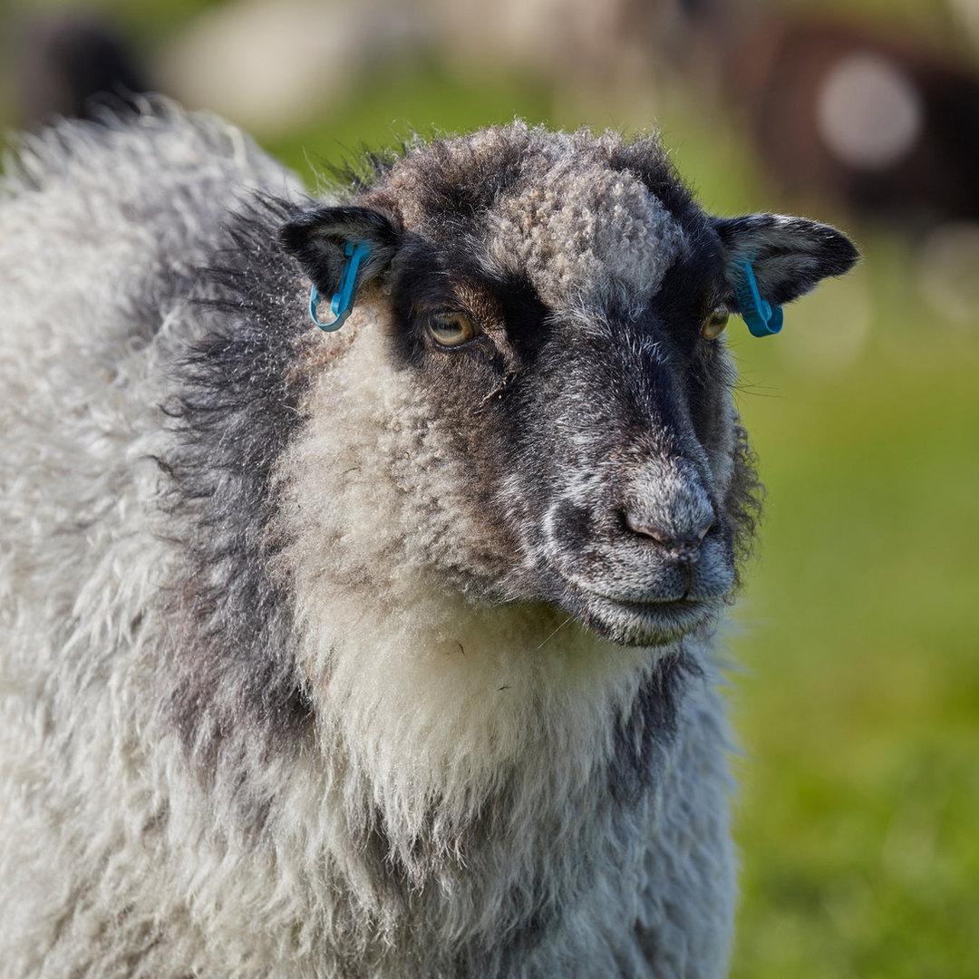 shetland sheep.jpg