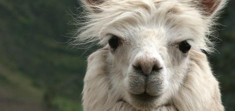 alpaca head2.jpg