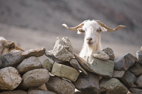 csahmere-goat.png