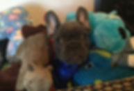 French Bulldog Puppy-Apollo-Asgard-Blue JLS