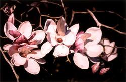 Japanese Magnolias