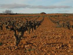 Old Bobal Vines (Utiel Requena)