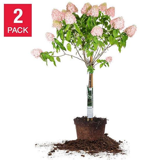 Pinky Winky Hydrangea Tree