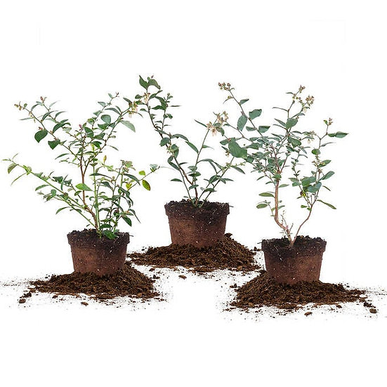 Blueberry Plants, 3-pack