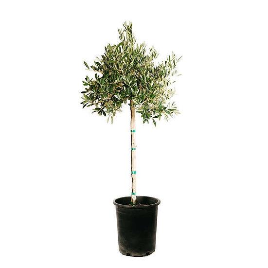 Alder & Oak #05 Olea Petite Patio Olive Tree