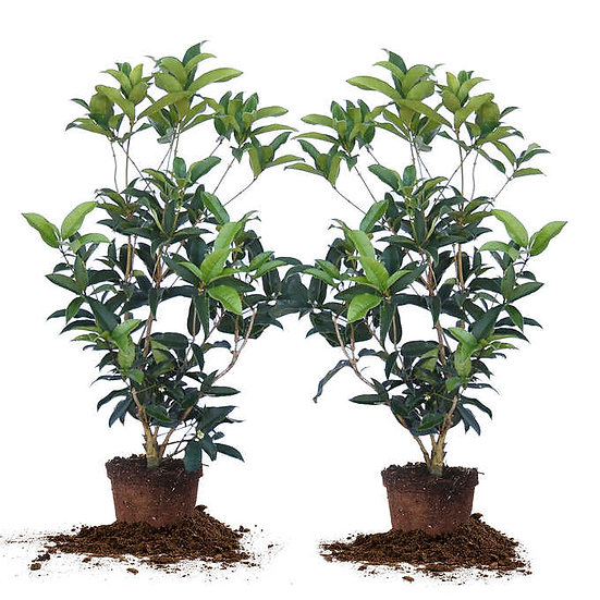 Tea Olive Flowering Shrub Plant, 2-pack