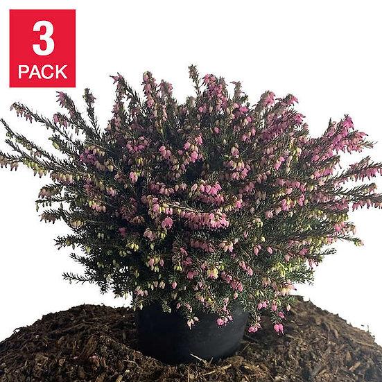 Heather Mediterranean Pink 2.8 liters