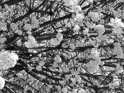 dogwoods