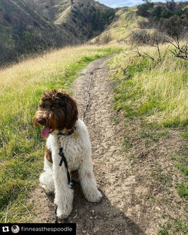 Bow Creek Brittany Doodles outdoors