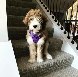 Bow Creek Brittany Doodles sitting on the stairs