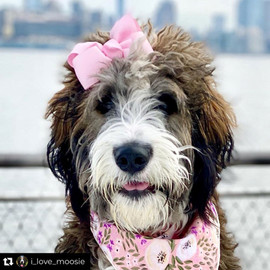 Bow Creek Brittany Doodles wearing a pink scard and pink ribbon