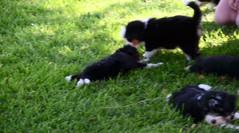 Fast & Furious Mini Bernedoodles