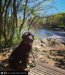 Bow Creek Brittany Doodles sitting in front of a lake