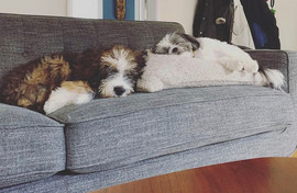 Two Bow Creek Brittany Doodles sleeping on the sofa