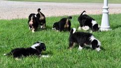 Full House Mini Tricolor Bernedoodles litter