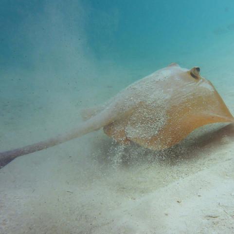 0378 Maldives snorkel, Cowtail Stingray - Pastinachus sephen.JPG