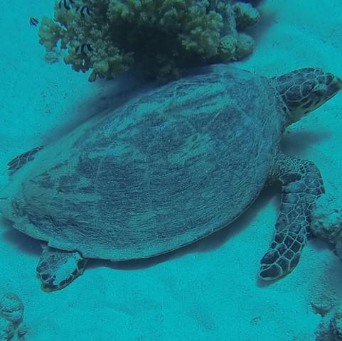 GOPR0381Large Turtle.JPG