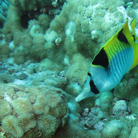 0351 Maldives snorkel, Double-saddle butterflyfish - Chaetodon falcula.JPG