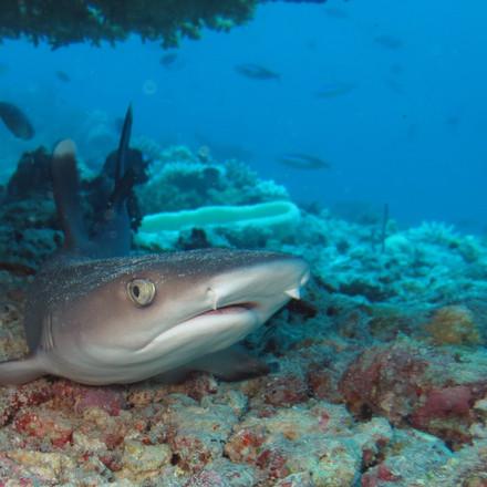 0194 Maldives, White-tip reef shark.JPG