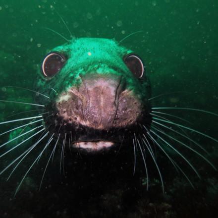 0488 Farnes, Grey seal (Halichoerus grypus).JPG