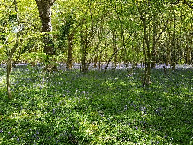 Emsworth Bluebell Woods.jpg