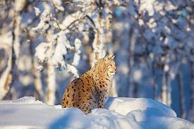 lynx-cat-resting-in-the-winter-sun-at-su