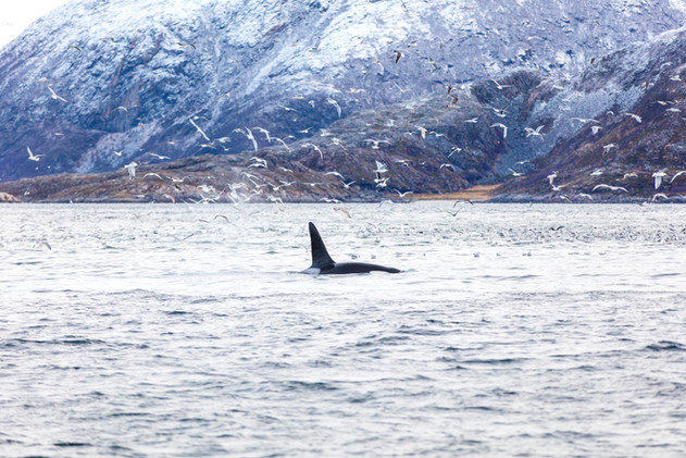 orca-killer-whale-and-seagulls-hunting-f