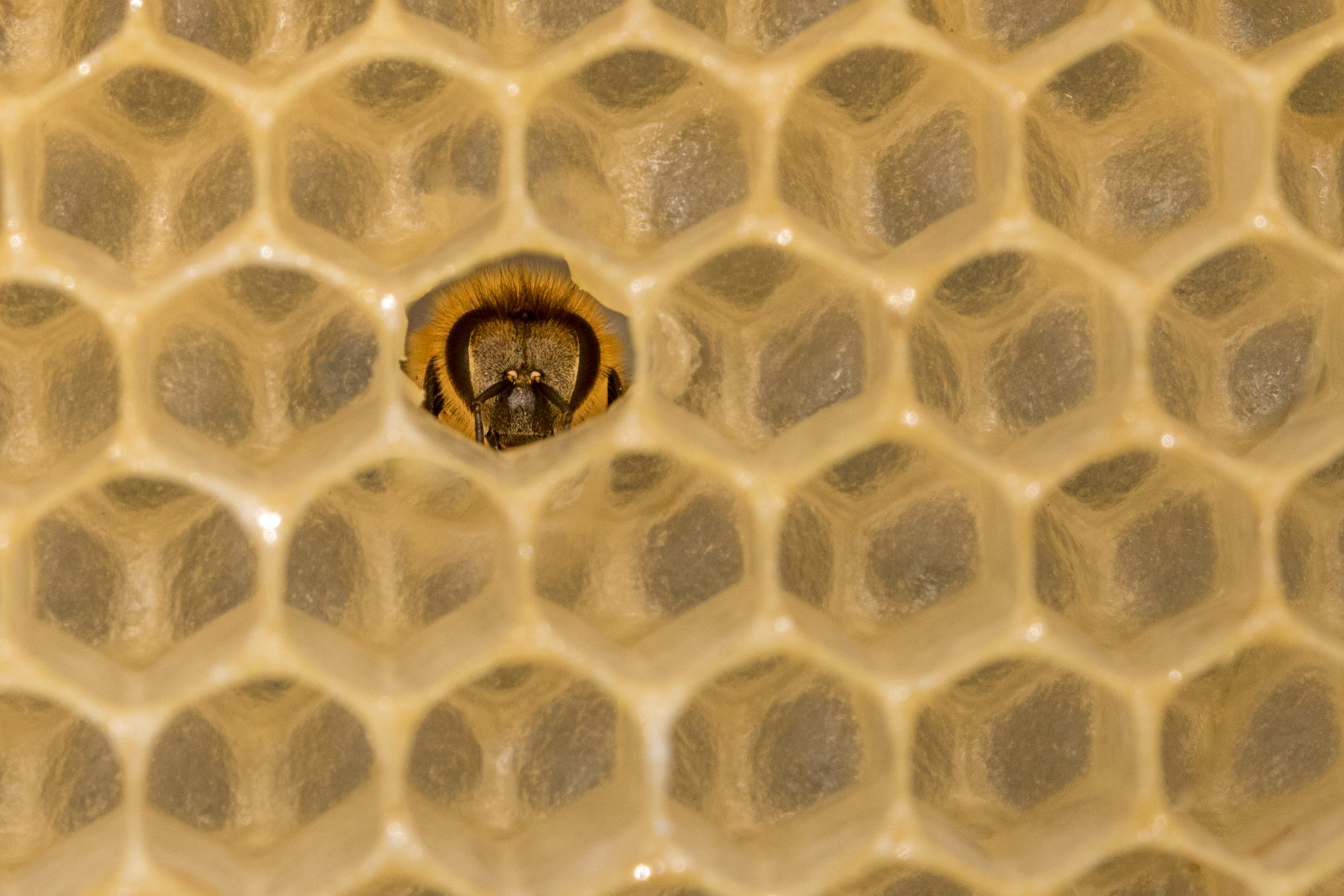 Honey Bee on Comb 2