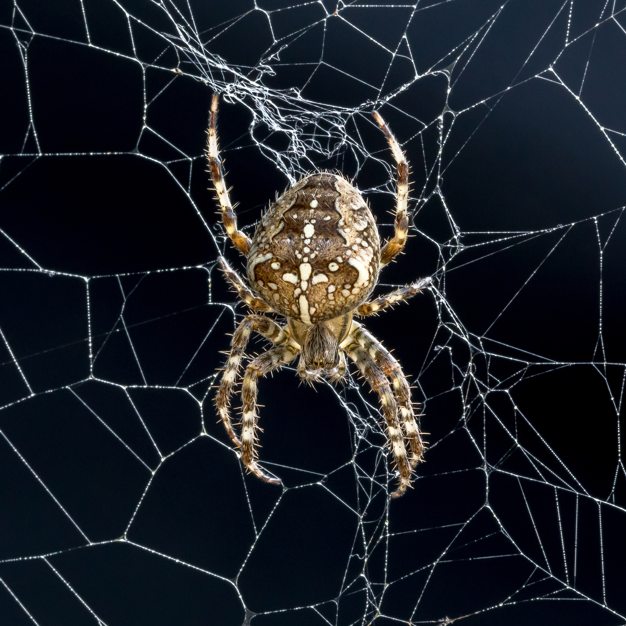 Cross-Orb Spider