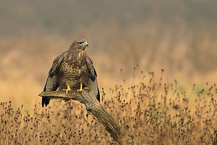 Buzzard perched.jpg