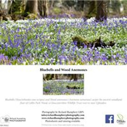 Bluebells and Anemones