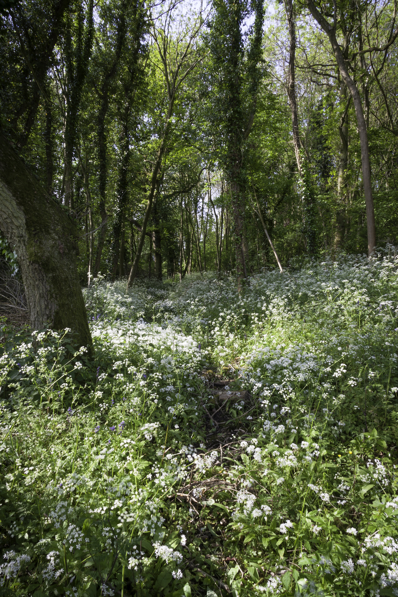Dean's Coppice in Spring
