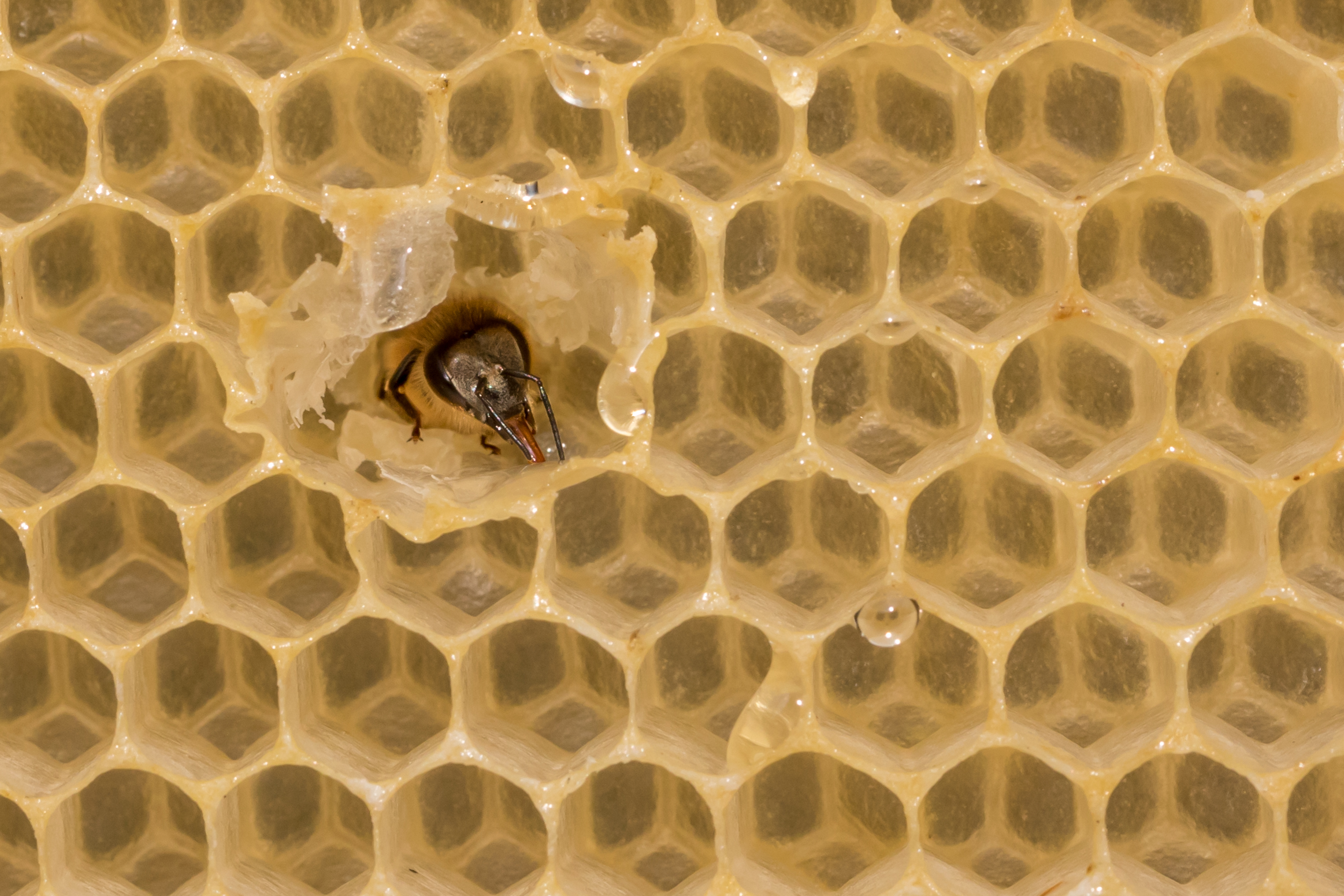 Honey Bee on Comb 3