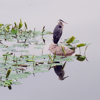 Great Blue Heron, After the Rain, Chicago Botanic Garden