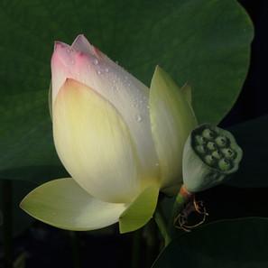 Lotus, After the Rain, Chicago Botanic Garden