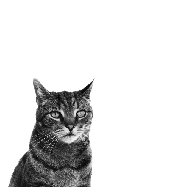 pet photography, cat, tubby, black and white