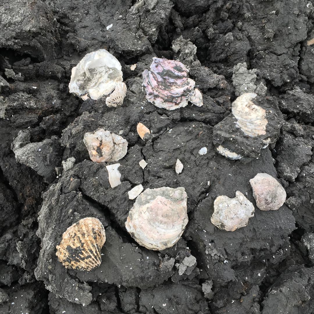 田谷道路工事現場の地盤調査視察 貝化石